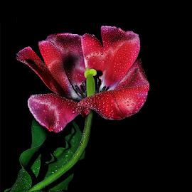 by Manuela Dedić - Flowers Single Flower