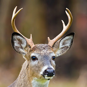 White Tailed Buck by Herb Houghton - Animals Other Mammals ( buck, 8 pointer, white tailed deer, deer )