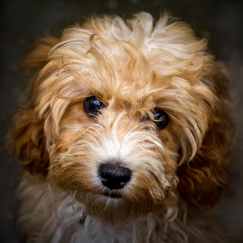 Puppy dog eyes by Tony Walker - Animals - Dogs Portraits ( cockapoo, puppy, dog, portrait, eyes )