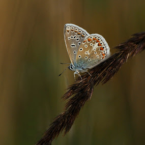 Common Blue in the early morning by Fred van Maurik - Animals Other ( polyommatus icarus, common blue, nikkor, m3-photo, nikkon, icarusblauwtje, hauhechel-bläuling )