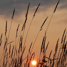 Sun in grass by Jennifer Duffany - Landscapes Sunsets & Sunrises ( sunset grassy grassysunset pink low )