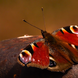 butterfly by Claudia Weber-Gebert - Animals Insects & Spiders ( butterfly, macro, nature, peackock's eye, insect, close up, animal )