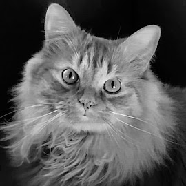 Buddy by Lisa Chilton - Animals - Cats Portraits