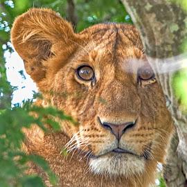 Portrait of a Lion cub by Pravine Chester - Animals Lions, Tigers & Big Cats ( big cat, lion, cat, nature, wildlife, photography, cub, animal )