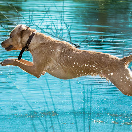 Dog Jumping  by Jenny Trigg - Animals - Dogs Running ( water, retriever, jumping, dog, labrador )