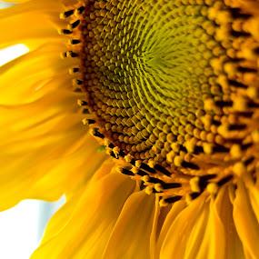 SUNflower by Gašper Kamenšek - Nature Up Close Flowers - 2011-2013