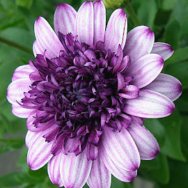 Lovely Shades Of Purple by Millieanne T - Flowers Single Flower