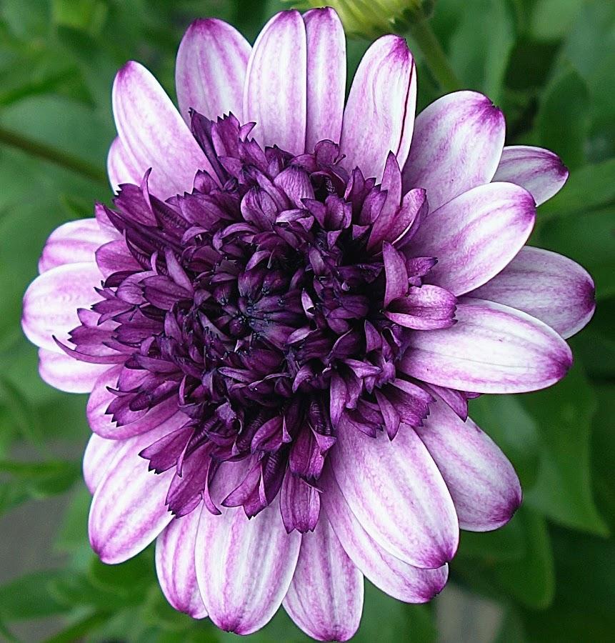 Lovely Shades Of Purple by Millieanne T - Flowers Single Flower