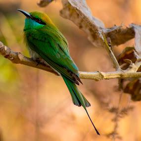 Bird about to fly by Basant Malviya - Animals Birds ( fly, nature, birds,  )