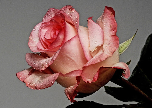 Rose by Cristobal Garciaferro Rubio - Nature Up Close Flowers - 2011-2013 ( rose, petals, drop, drops, leaf, flowers, flower )