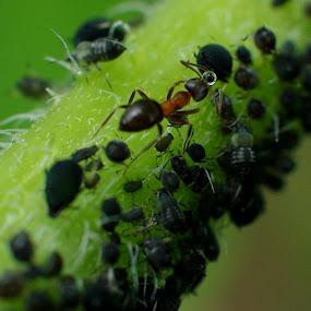 ant feeding by Mrak Rado- Fotograf - Animals Insects & Spiders ( ant feeding, ant eat, insects, ant, animal )
