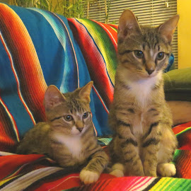 Little Baby Knuckleheads by Beth Bowman - Animals - Cats Portraits (  )