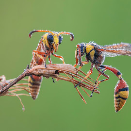 Two Wasp In The Morning by Sulistyo Aji - Uncategorized All Uncategorized ( indonesian, natural light, macro photography, yellow, insect, insects, macrodaily, macro art, bees, macro, nature, bugs, sigma, indonesia, nature up close, nature photography, nikon, wasp, bee, nature close up, macro shot, natural beauty, natures, nature art, red, bug, natural )