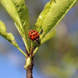 Ladybug by Kathy Psencik - Animals Insects & Spiders ( ladybug in tree, ladybug on leaf, red bug, ladybug, lady bug )