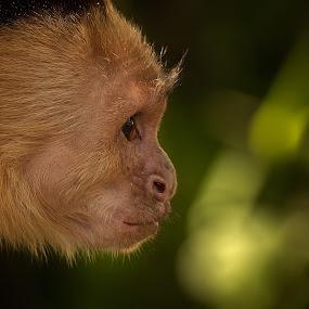 White-Headed Capuchin by Dbart ... - Animals Other Mammals (  )