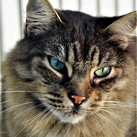 Maverick  by Linda    L Tatler - Animals - Cats Portraits