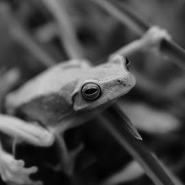 Green Frog by Sharon Cislowski - Animals Amphibians