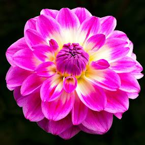Pink Flower by Naveen Naidu - Flowers Single Flower