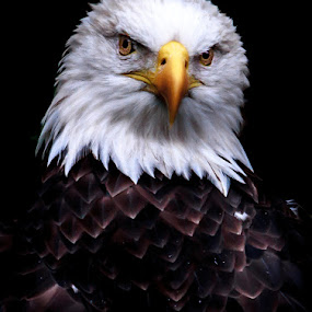 Eagle 2 by Nigel Bullers - Animals Birds ( bird, wild, eagle, bald, feather,  )