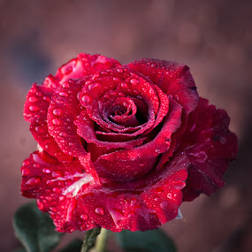 by Gunbir Singh - Flowers Single Flower ( rose, single rose, red, nature,  )