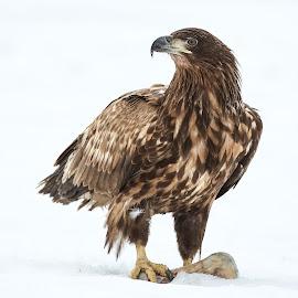 Seaeagle on snow by Lillian Utstrand Gulliksen - Animals Birds ( predatorsofprey, seaeagle, snow, finland, ørner, eagles, birds )