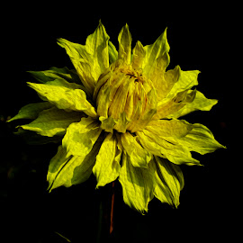 Yellow Flower by Pravine Chester - Digital Art Things ( digital art, digital painting, photography, yellow flower, flower )