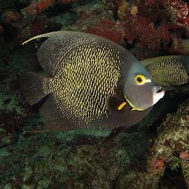 French Angelfish by David Gilchrist - Animals Fish ( underwater, fish, underwater photography, angelfish, animal )