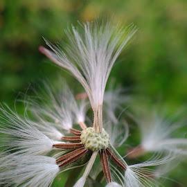 Tertiup Angin by Denny Dipayana - Nature Up Close Other plants