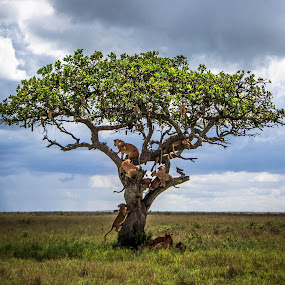 Pride Tree by Tom Howes - Animals Lions, Tigers & Big Cats ( lions, tanzania )