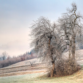 Dancing trees by Rado Krasnik - Landscapes Prairies, Meadows & Fields ( hill, coutryside, trees, morning, fields )