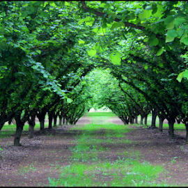Orchard Tunnel by Mina Thompson - Landscapes Prairies, Meadows & Fields ( oregon, fruit trees, orchard, country, tunnel )