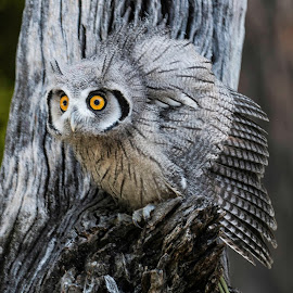 Southern White-faced Scops Own by Harvey Lindenbaum - Animals Birds ( birds of prey, owl, sothern white-faced scops own, birds )