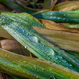 Dew by Matija Šimunić - Nature Up Close Natural Waterdrops ( grass, green, lines, waterdrops, closeup )