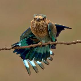 INDIAN ROLLER by Subramanniyan Mani - Animals Birds ( concentration, nature, wildlife, birds, indian roller )