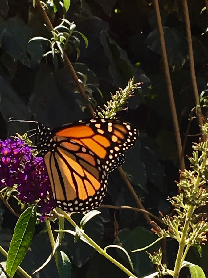 Monarchs return by Sherry Gardner - Animals Insects & Spiders ( butterflies )