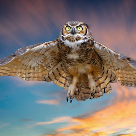 Great horned owl in flight by Sandy Scott - Animals Birds ( animals, fowl, avian, wildlife, great horned owl, eyes, bird, owl in flight, birds of prey, flight, sikes, nature, sunset, wings, owl, raptor, sunrise )