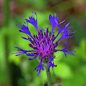 Blue Starthistle