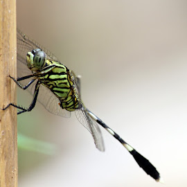 Dragonfly by Bagus Wijaya - Animals Insects & Spiders