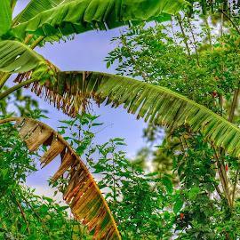 Banana Leaves by KyuHyun Thigan - Nature Up Close Leaves & Grasses ( nikon photography, nikonshooter, nikon d3100, green, leaves,  )