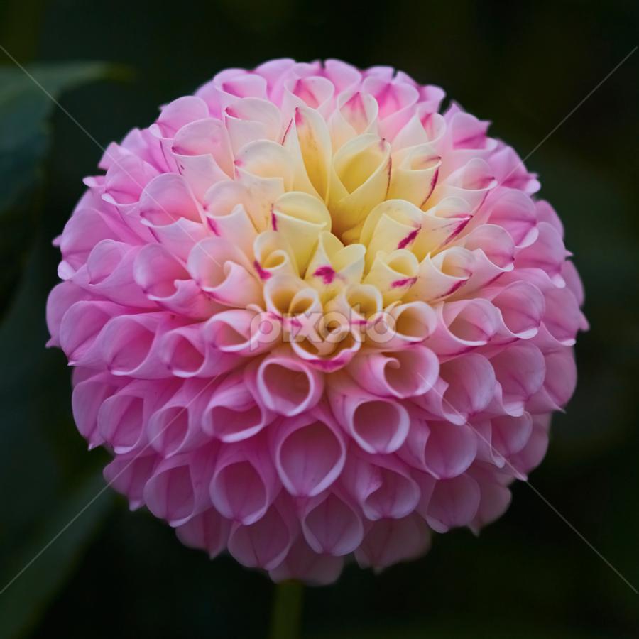 Dahlia 9112~ 3 by Raphael RaCcoon - Flowers Single Flower
