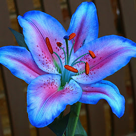 Bench Lily by Chrissie Barrow - Flowers Single Flower ( stigma, red, single, stamens, lily, blue, petals, dyed, pink, cut, flower )