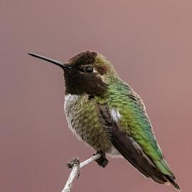 Anna's Hummingbird by Carl Albro - Animals Birds ( anna's hummingbird, bird, perched, hummingbirds )
