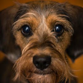 by Aaron Taylor - Animals - Dogs Portraits