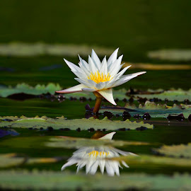 Water lilly by Vin Shutterbug - Nature Up Close Other plants ( water lilly, aqua plant, nyphaeceae, aquaplant, lilly )