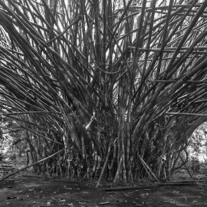 bamboo (1 of 1).jpg
