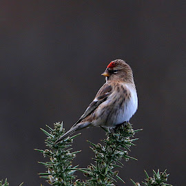 Redpoll, Bull island by Mark Collins - Uncategorized All Uncategorized