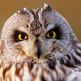 by Wise Photographie - Animals Birds ( wise photographie, owl )