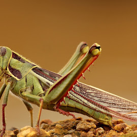 Grasshopper by Pix Perfect - Animals Insects & Spiders ( perfectpix, insect, grasshopper )