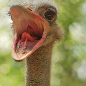ostrich by Jade Bracke - Animals Birds ( bird, open, ostrich, mouth, animal,  )