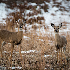 Curious by Jebark Fineartphotography - Animals Other Mammals ( mammals, wild, animals, winter, nature, pair, curiosity, snow, wildlife, unguates, deer )